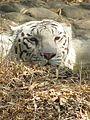 Resting White Tiger.jpg