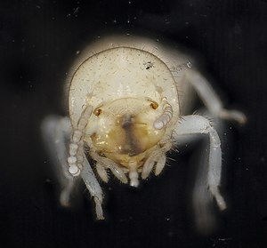 Termite - Close-up view of a worker's head