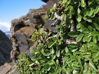 Rhamnus (genus) - Rhamnus pumila, dwarf buckthorn
