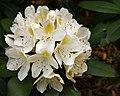 Rhdodendron (18563670620).jpg