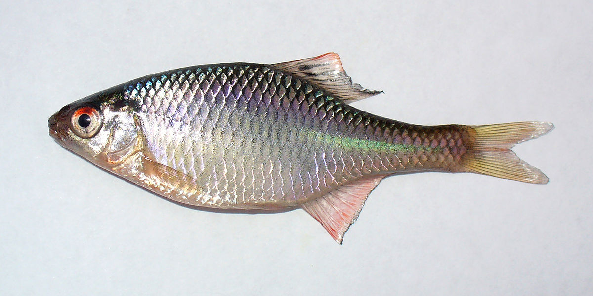 European bitterling wiktionary for Plural of fish