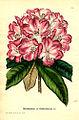 Rhododendron × boddaertianum.jpg