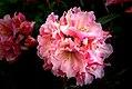 Rhododendron bambino (8170863017).jpg