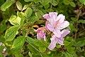 Rhododendron macrosepalum 04.jpg