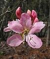 Rhododendronvaseyi.jpg