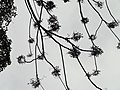 Rhus succedanea - Miyajima Natural Botanical Garden - DSC02401.JPG