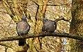 Ringduva Wood Pigeon (31800073541).jpg