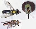 Riponnensia splendens (male) (18280404345).jpg