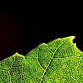 River birch tree leaf (20639288025).jpg