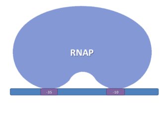 Promoter (genetics) - RNA Polymerase sigma 70 binding: The picture shows the region -35 and -10 of the promoter, which are the main regions of interactions with the sigma factor.