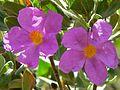 Rock Rose (Cistus albidus) (8333256458).jpg