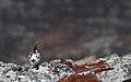 Rock ptarmigan (Lagopus muta) 02.jpg