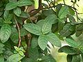 Rondeletia odorata (1093876325).jpg