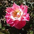 Rosa-lovestruck.jpg