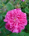 Rosa 'Petite Orléanaise' 1.jpg