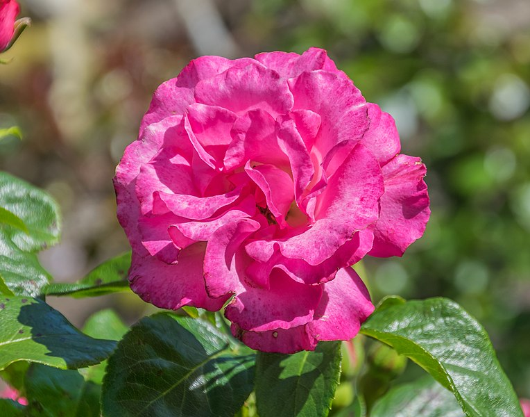 File:Rosa 'Sky Tower' in Dunedin Botanic Garden.jpg