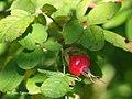 Rosa majalis fruit (10).jpg