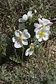 Rosa spinosissima inflorescence (30).jpg