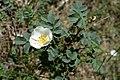 Rosa spinosissima inflorescence (60).jpg