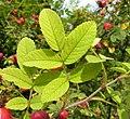 Rosa villosa leaf (03).jpg