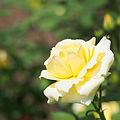 Rose, Christmas Bell, バラ, クリスマス ベル, (15071641307).jpg