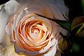 Rose, Moonsprite - Flickr - nekonomania (1).jpg