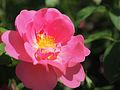 Rose, The Herbalist, バラ, ザ ハーバリスト, (18271742438).jpg