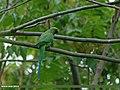 Rose-ringed Parakeet (Psittacula krameri) (22751829053).jpg