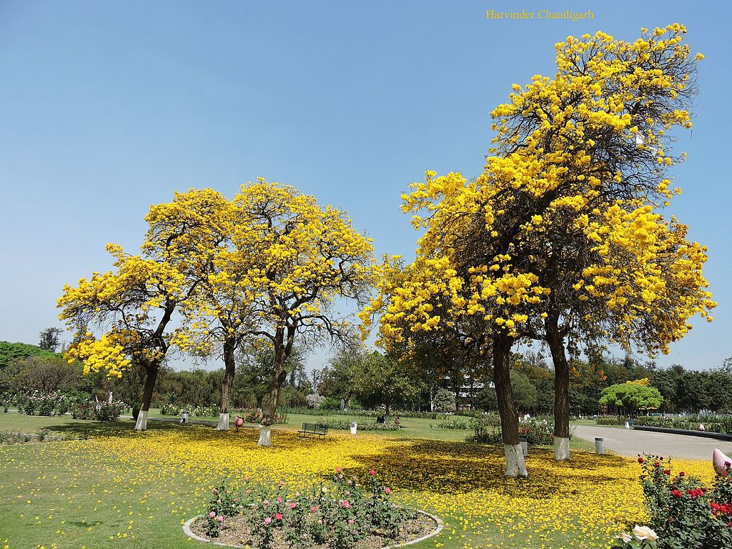 Filerose Garden Chandigarhjpg Wikimedia Commons
