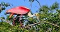 Roseate spoonbill8.jpg