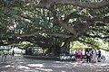 Rubber tree (Hevea brasiliensis) near Recoleta.JPG