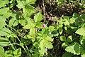 Rubus arcticus 104215759.jpg