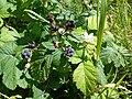 Rubus caesius 02.jpg