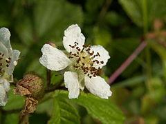 Rubus caesius NRM.jpg