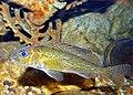 Ruffe (Gymnocephalus cernuus) (13532365375).jpg