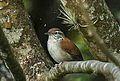 Rufous-and-white Wren - Panama H8O7922 (16960879747).jpg