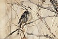 Rufous-crowned Sparrow San Pedro House Sierra Vista AZ 2018-01-30 11-58-13 (40000893132).jpg