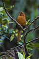 Rufous Spinetail - Colombia S4E9411 (16129519014).jpg