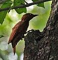 Rufous Woodpecker (Celeus brachyurus) in Kolkata I IMG 0371.jpg