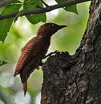 Rufous Woodpecker (Celeus brachyurus) in Kolkata I IMG 0371