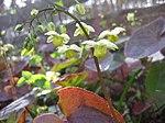 Ruhland, Grenzstr. 3, gelbe Elfenblume im Garten, blühend, Frühling, 02.jpg