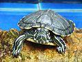 SW Turtle 01.JPG