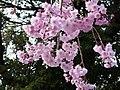Sakura of Unomori park , 鵜の森公園の桜 - panoramio (2).jpg