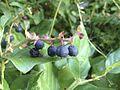 Salal berries.jpg