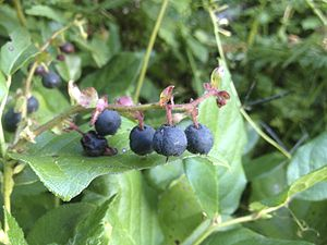 Gaultheria shallon - Ripe berries of the salal plant, G. shallon