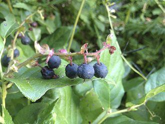 Gaultheria shallon - Ripe berries of the salal plant, G. shallon