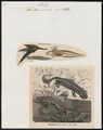 Salamandra cristata - 1700-1880 - Print - Iconographia Zoologica - Special Collections University of Amsterdam - UBA01 IZ11400109.tif