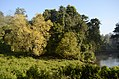 Salix tetrasperma Indian Willow tree from Anaimalai Tiger Reserve JEG1498.JPG