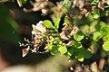Salvia chamelaeagnea 1zz.jpg