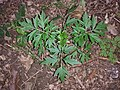 Sambucus nigra sl1.jpg